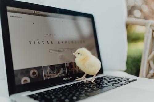 kaboompics_Newborn little chicken and laptop
